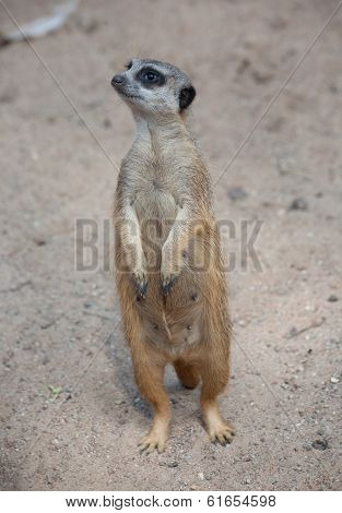 Suricat (suricata Suricatta)