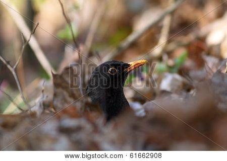 Male Common Blackbird Hiding