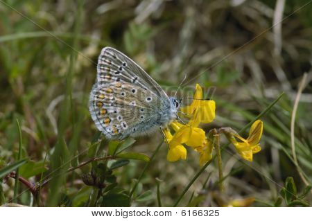 Common Blue Butterfly male - Polyommatus icarus