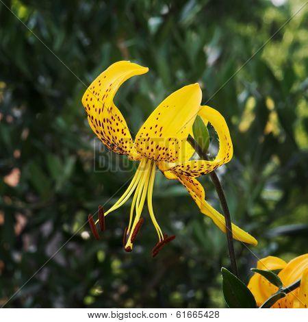 Yellow Lily Flower (lilium Lancifolium)