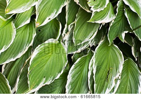 Big Hosta Or Funkia Leaves