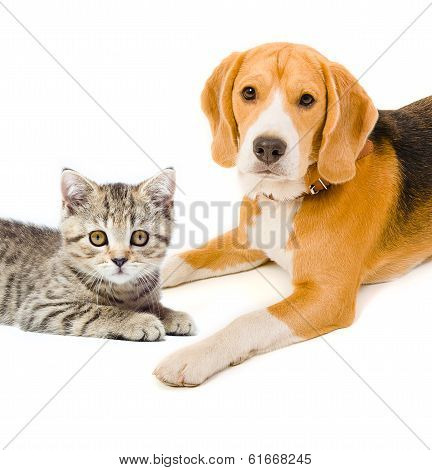 Kitten Scottish Straight and beagle dog
