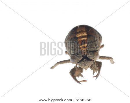 Cicada