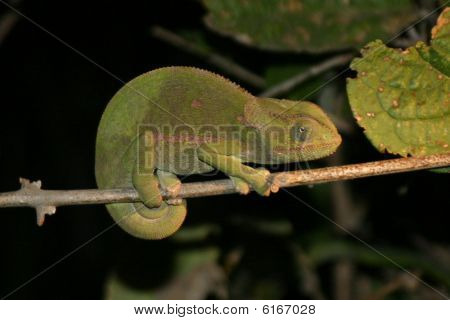 Cameleon on a Stick