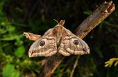image of female peacock  - The female Saturnia pavoniella a southern cousin of the Emperor moth on a dry twig