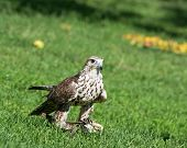 pic of falcons  - The Saker falcon  - JPG