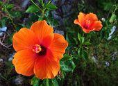 foto of hibiscus  - orange Hibiscus flower beautiful in the garden - JPG
