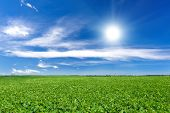 stock photo of plowed field  - Soybean field and blue sky at sunny day - JPG