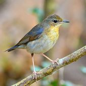 picture of robin bird  - Beautiful bird A female of Siberian Blue Robin  - JPG