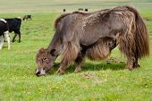 picture of yaks  - brown yak grazing at green summer pasture - JPG