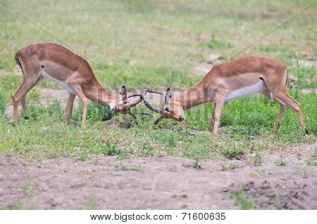 Two Male Impala Fight In For The Herd With Best Territory