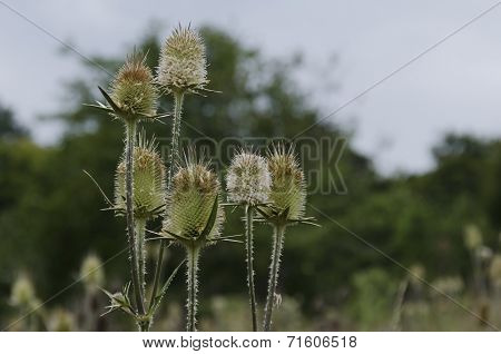 Bur and blossom of teasel comb (Dispacus sylvestris)