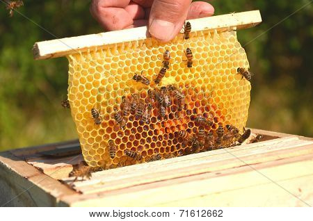 bees on small wedding honeycomb held by apiarist