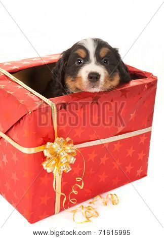 Six weeks old Bernese mountain dog puppy sitting in a christmas present