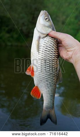 Big chub in fisherman's hand against river shore