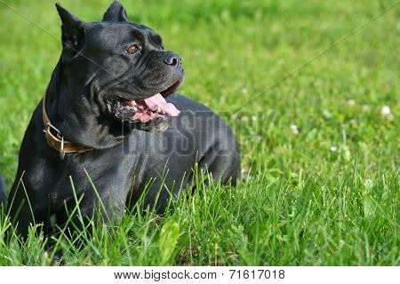 Big dog resting in the grass