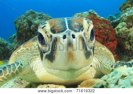 Turtle (Green Sea Turtle)