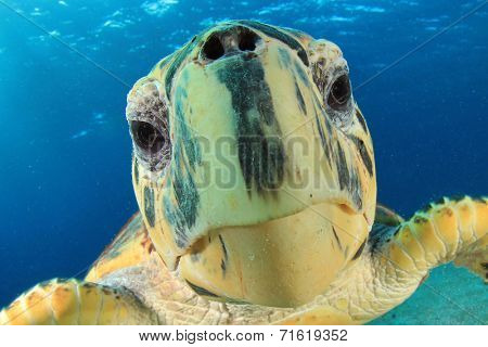 Turtle: Close up of Hawksbill Sea Turtle's face