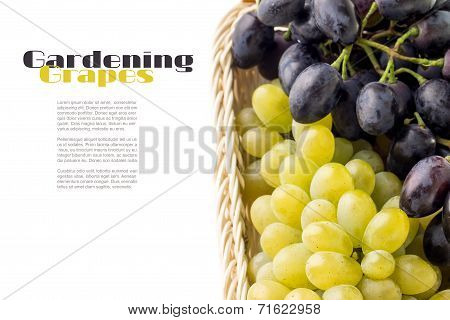 Table Blue And Yellow Grapes In Wicker Basket With Copyspace On White Background