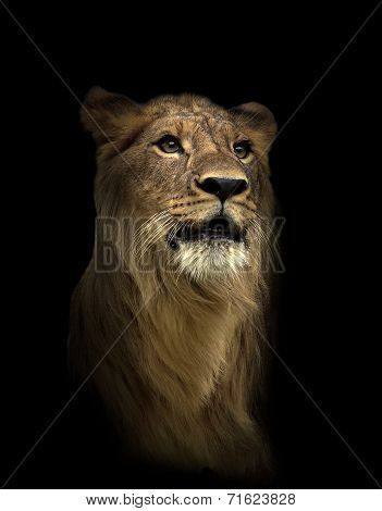 Lion In The Dark Night