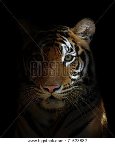 Bengal Tiger Head