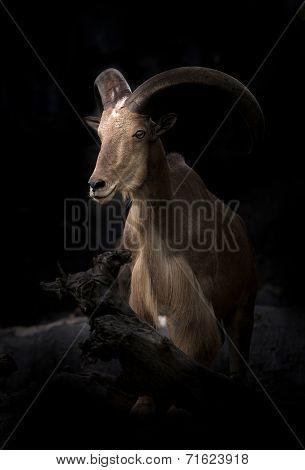Male Barbary Sheep (ammotragus Lervia)