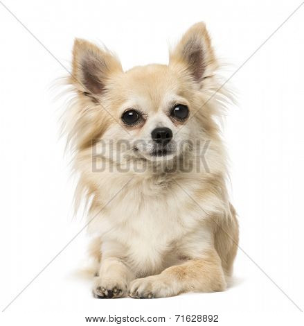 chihuahua lying and looking away
