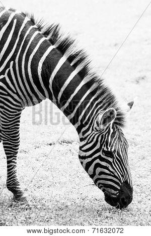 Black And White Photo Of Zebra