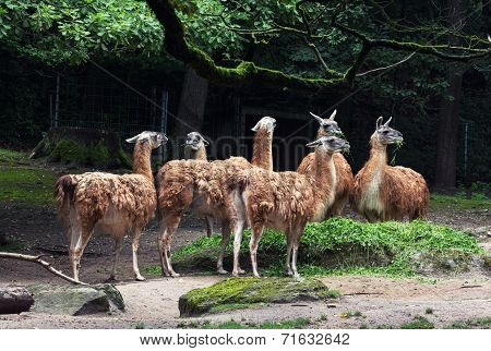 Herd Of Guanaco Llamas (lama Guanicoe)