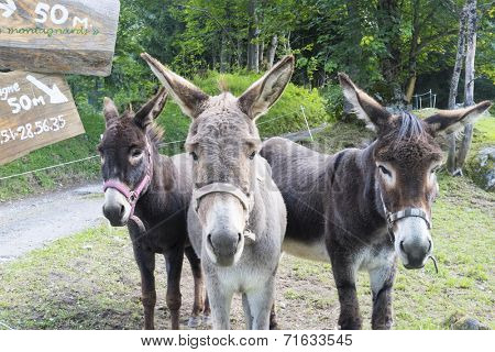 BIONNASSAY, FRANCE - AUGUST 24: Mules for hire in the village of Bionnassay. Apart from mounting, the mules are used to carry backpacks for Tour du Mont Blanc trekkers. August 24, 2014 in Bionnasay.