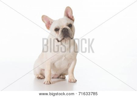 french bulldog puppy sitting looking at viewer on white background