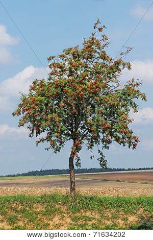 Rowan Tree Grows In The Middle Of The Autumn Field