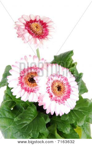 Gerbera in a flower pot.