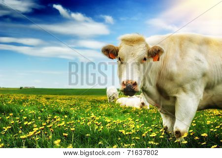 Herd Of White Cows At Green Field