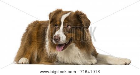 Border collie lying and looking away