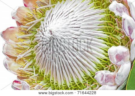 Protea flower closeup