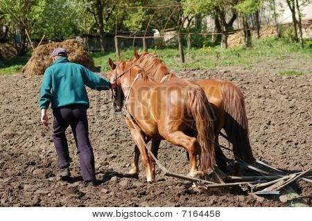 Ploughing The Field With Horses