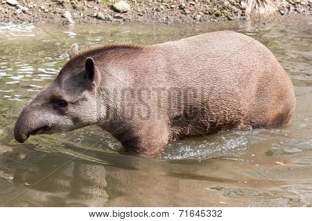 South American Tapir - Full Shot