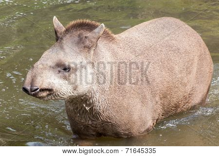 South American Tapir - Head On Shot