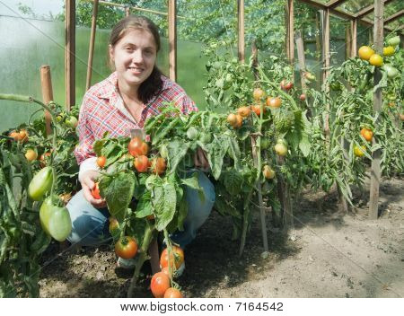 Girl Picking  Tomato  In The Hothouse