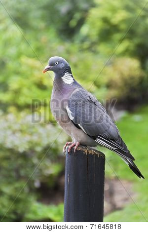 Columba Livia (pigeon) On A Bough
