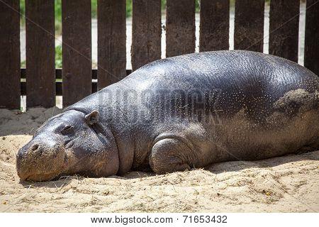 Pygmy Hippopotamus In Zoo Bratislava, Slovakia
