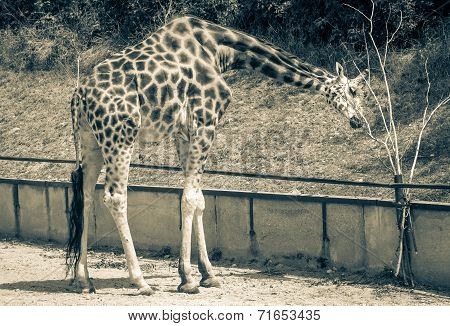 Rothschild's Giraffe At Zoo