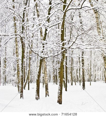 Winter Birch Forest