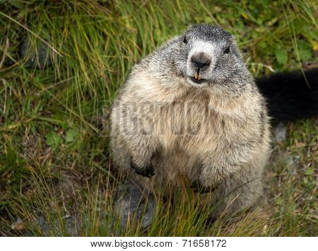 Marmot in Hohe Tauern National Park, Austria, Europe
