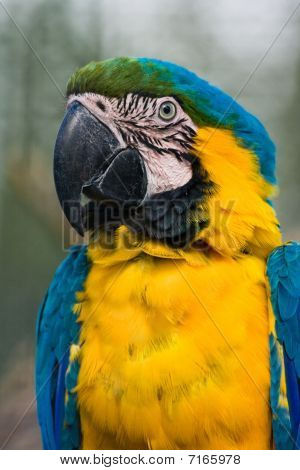 Yellow And Blue Parrot Looking