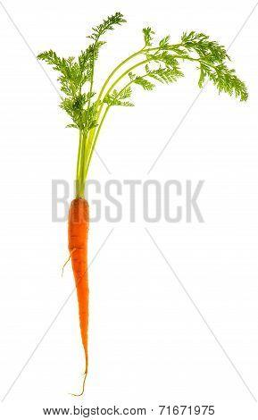 Fresh Single Carrot Isolated On White
