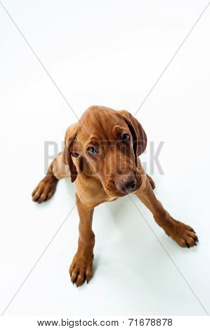 Hungarian or Magyar Vizsla isolated over white background.
