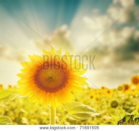 sunflower closeup and sunset. soft focus
