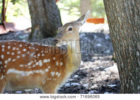 White-tailed Deer Odocoileus Virginianus Fawn Stands